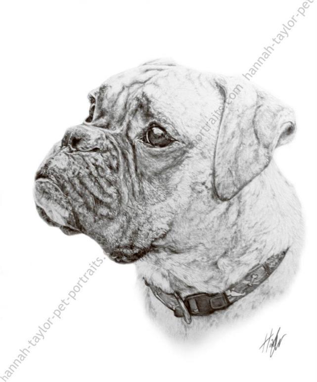 11. Hannah Taylor Pet Portraits Boxer dog